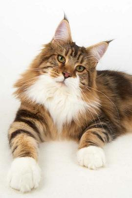 Giant maine coon kittens for sale uk